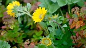 Balsamroot and Oregon grape leaves