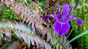 Native iris and sword fern