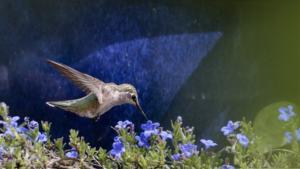 Hummingbird on lithodora