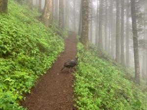 Turkey on the Trail